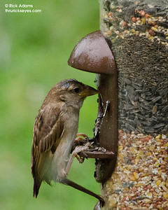 This little sparrow looks a bit sad as he considers which seed he wants.