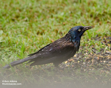 This grackle was drenched, but still he foraged for some tasty seeds.