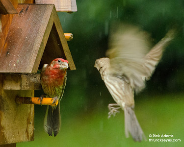 The male finch watched as a female approached the feeder.