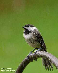 A chickadee caught its breath before diving off the hook holding the feeder to a perch and access to the seeds inside.