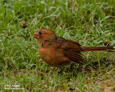 This cardinal looks about as drab as a rain-soaked cardinal could look to me.