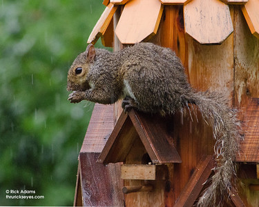 One of our backyard squirrels braved the pelting rain to scavenge a meal from our feeders.