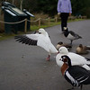 Onward, my minions! We must press forward<br /> <br /> (Lesser snow goose)