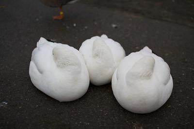 Lesser snow geese?