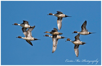 Pintail ducks.