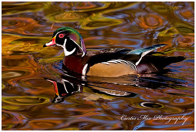 Wild looking water. Male Wood Duck.