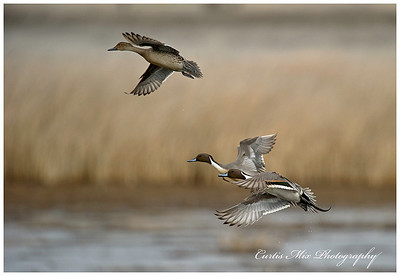 Northern Pintails.