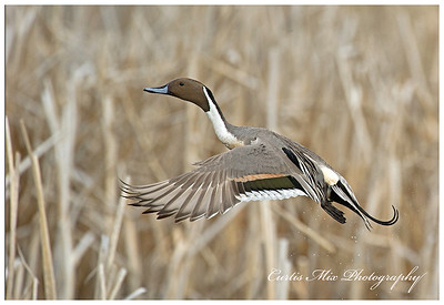 A Pintail taking off.