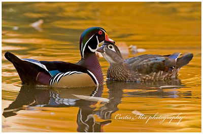 Wood Duck pair.