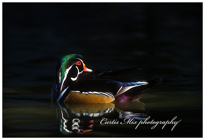 Sliver of light. Wood Duck.
