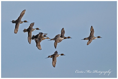 Banking in. Pintail Ducks descend.