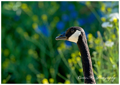 Canada Goose against the wild flowers.