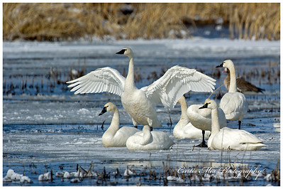 Tundra Swan stretching on a beautiful winter day.
