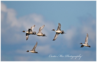 Flying Pintails.