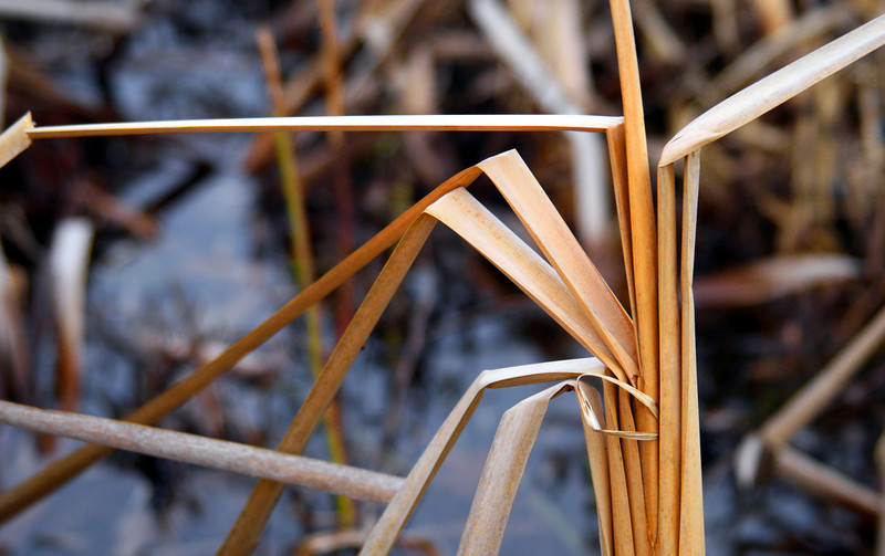 Reeds in autumn, bent against a backdrop of marshland.