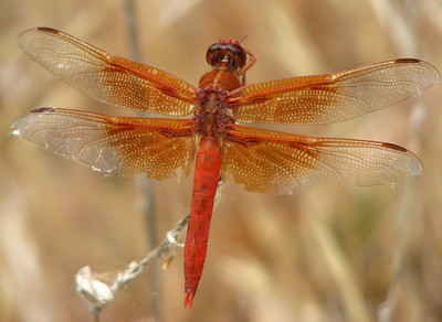 dragonfly roja