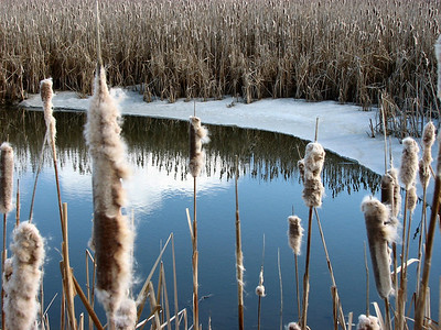 Cattail reflection