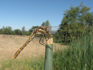 darner dragonfly on tule rush