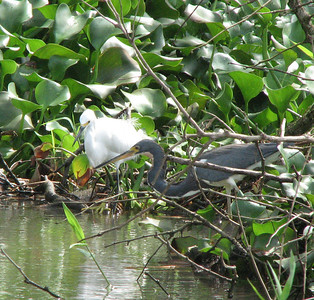 fishing -- snowy egret and tri-colored heron