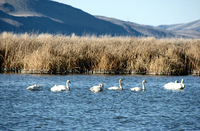 Tundra Swans and Cattails