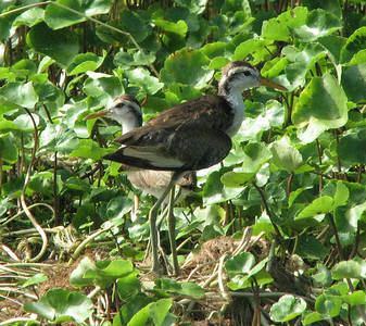 Juvenile Jacana and nest, Tortugero NP
