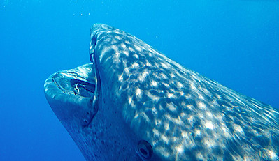 Whale shark mouth.