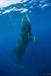 Jim Abernethy photo: the same shark, showing the upright, botella (bottle) position.