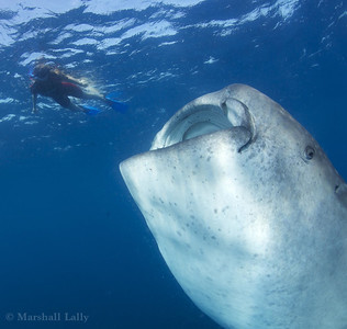 Marshall Lally photo: Juliet and whale shark. My what big mouth you have,