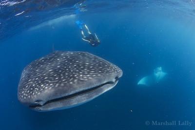Marshall Lally photo: Juliet , whale shark, and manta ray