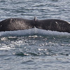 A humpback whale's tail - Pacific Ocean, off of California