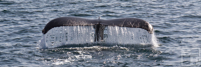 Water streaming down from a humbpack whale's tail. Shooting from a moving boat can be challenging, but getting a shot like this was well worth the effort.
