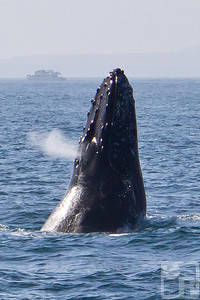 This humpback whale breached several times, I managed to capture an exhale in this shot.