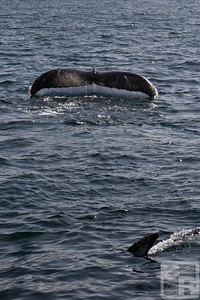Two humpback whale flukes are captured together