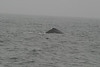 Whale_Watching_Jul_2012_0177