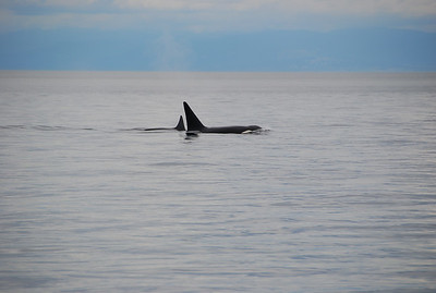 Whale Watching San Juan Islands