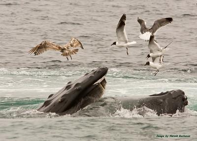Humpback Whale feeding w birds_Provincetown HBam_4307