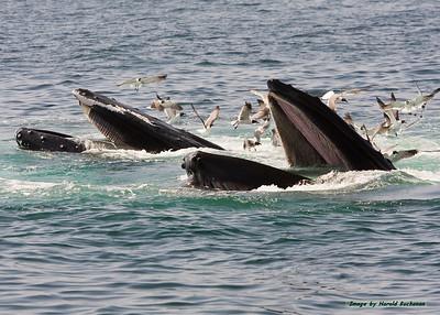 Humpback Whales feeding_4475