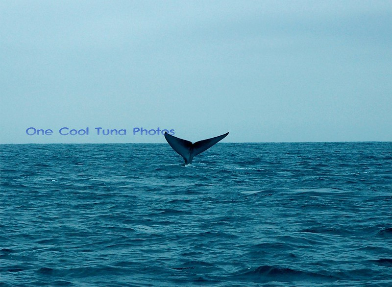 Blue Whale going deep. Off the pacific coast.