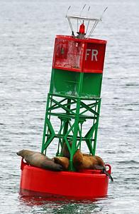 Stellar sea lions resting on a bouy near Ketchikan, AK.