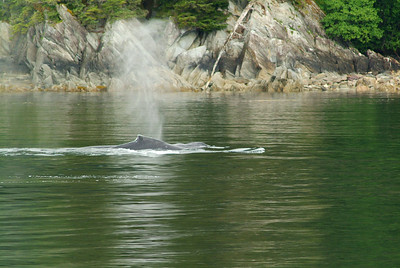 The first indication of a whale was a plume of water vapor and upon closer examination there were several humpback whales feeding on salmon.