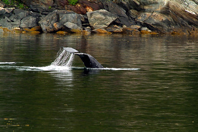 The tail end of one of the Humpback Whales