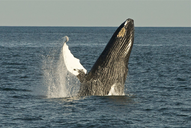 "Humpback Whale (Megaptera novaeangliae) , Maine<br /> Example of a comeback: once hunted to the brink of extinction, its population fell by an estimated 90% before a 1966 whaling moratorium. Today it is recovered and rated  of ""Least Concern)."