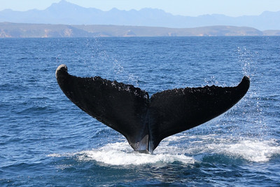 Top side of humpback tail.