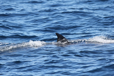 The Brydes whales really dont show much of their bodies above water, making them difficult targets to hit with the crossbow dart.