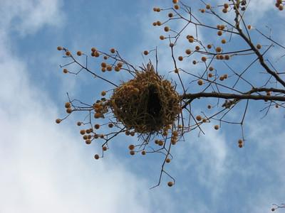 Weaver nest in the garden.