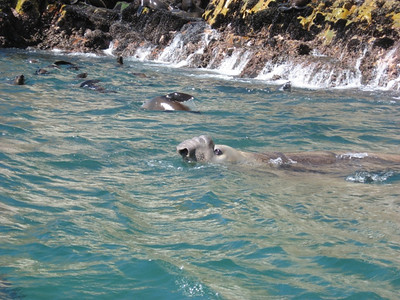 Apparently this elefant seal has visited the seal colony for the past couple of years.