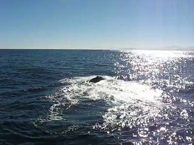 Short video, unfortunately taken into the sun, but you can see the whale moving its tail from side to side, which is a bit funny since they usually go up and down :-)