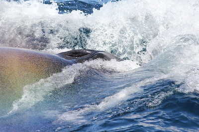 Splash and rainbow at surfacing of Brydes whale.