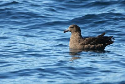 Subantarctic Skua at sea.
