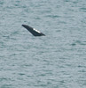 • Right Whales ~ 6 Miles south of Ocean Ave on A1A.<br /> • A Right Whale's  tail fluke